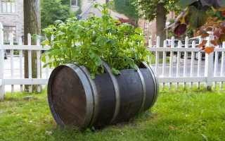 Выращивание картофеля в бочке: описание технологии, плюсы и минусы