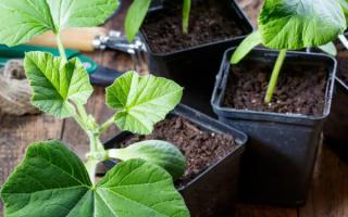 Когда сажать тыкву в землю в 2021 году: сроки по лунному календарю, по регионам, правила посева и дальнейшего ухода
