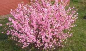 Миндаль Розовая пена: описание сорта, посадка и уход в открытом грунте с фото