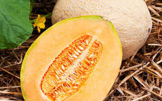 Выращивание дыни в открытом грунте и правильный уход