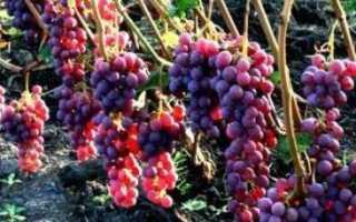 Виноград Амурский: описание сорта, посадка и уход, размножение черенками с фото