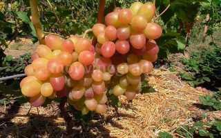 Виноград Тасон: описание и характеристики сорта, посадка и выращивание с фото
