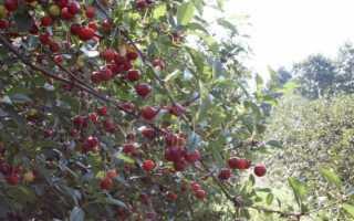 Вишня Игрицкая: описание и характеристики сорта, выращивание и правила ухода