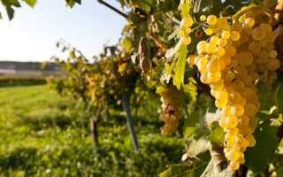 Что можно сажать рядом с виноградом, а что нельзя: совместимость с другими растениями