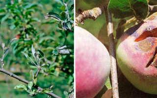 Мучнистая роса на яблоне: причины, как бороться и что делать для лечение
