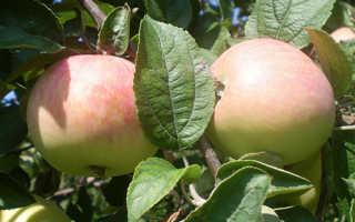 Яблоня Солнцедар: описание и характеристики сорта, отзывы садоводов с фото