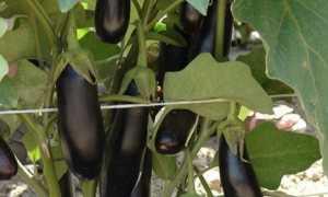 Баклажан Дестан f1: описание сорта, характеристики и урожайность с фото