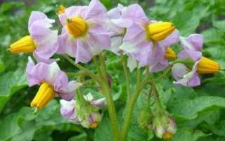 Картофель Любава: характеристика и описание сорта, выращивание и уход с фото