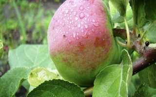 Яблоня Россошанское Полосатое: разновидности, описание и характеристики сорта с фото