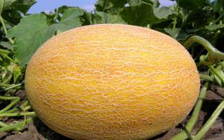 Дыня Амал: описание сорта, посадка и выращивание с фото