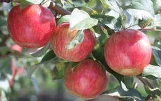 Яблоня Пепин Шафранный: описание и характеристики сорта, выращивание и уход