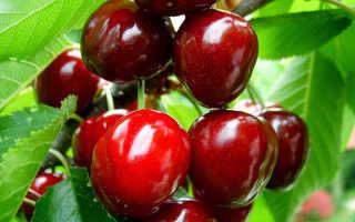 Выращивание вишни: основные принципы агротехники