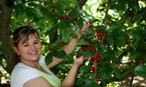 Приспособление для сбора абрикос с высокого дерева: разновидности устройств