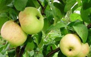 Яблоня Шампанское: описание и характеристики сорта, отзывы садоводов с фото