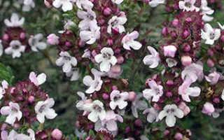 Тимьян Медок: описание сорта, выращивание и уход с фото