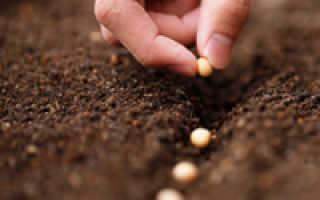Выращивание сои на огороде: как сеять, подкармливать и чем обрабатывать с фото