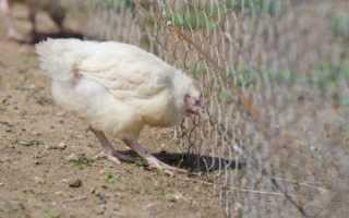 Клоацит у кур: симптомы и причины, методы лечения заболевания