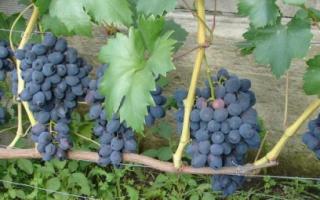 Виноград Забава: описание и характеристики сорта, история селекции и выращивание