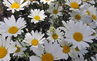 Садовые ромашки: описание видов и сортов, посадка, выращивание и уход с фото