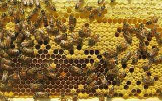 Бакфастские пчелы |