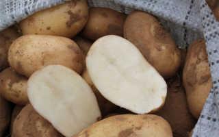Картофель Удача: характеристика и описание сорта, мнение садоводов с фото