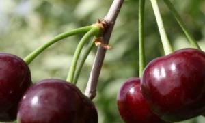 Самоплодные сорта вишни: описание крупноплодных, морозоустойчивых и низкорослых