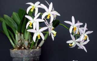 Лелия – описание, выращивание, фото на