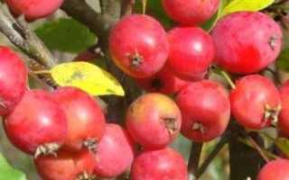 Яблоки ранетки: описание сортов, как выглядят и когда созревают с фото