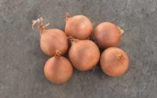 Лук Дайтона F1: описание и характеристика сорта, выращивание и уход с фото