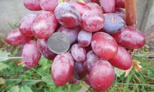 Виноград Подарок Ирине: описание и характеристики сорта, правила выращивания