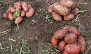 Картофель Розара: описание и характеристика сорта, рекомендации по выращиванию с фото