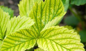 Желтеют листья клубники: причины почему и что делать для лечения