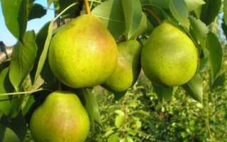Сорта груш: описание летних, осенних и зимних, какие лучше выбрать с фото