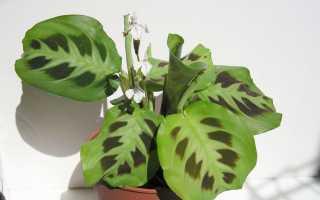 Maranta – Digger и суеверия: какой цветок расцвел или мечтал о том, можете ли вы держать его дома и другие народные убеждения, связанные с этим растением