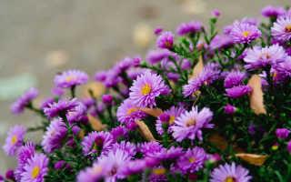 Цветы Сентябринки: размножение, посадка и уход в открытом грунте, описание сортов с фото