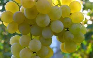 Виноград Кристалл: описание и достоинства сорта, посадки и ухода с фото