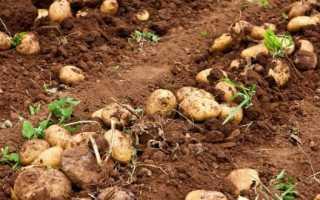 Мульчирование картофеля разными способами для увеличения урожая