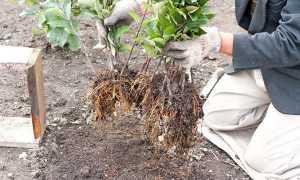 Как размножить грушу зелеными черенками и другими методами летом и весной