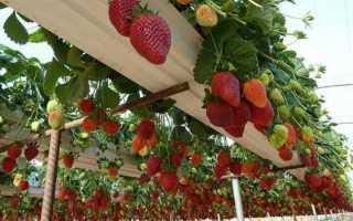 Выращивание клубники по голландской технологии: описание и преимущества способа