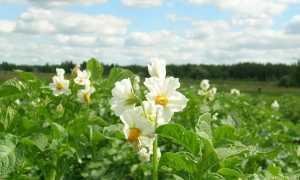 Можно ли опрыскивать картофель от колорадского жука во время цветения?