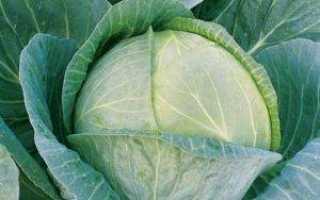 Капуста Мегатон: описание сорта, выращивание и отзывы с фото