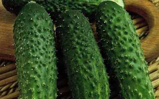 Огурцы Паратунка: описание сорта, выращивание и урожайность с фото