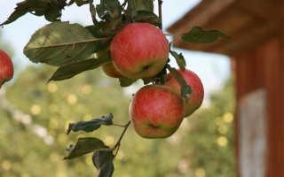Лучшие сорта яблони для Подмосковья: какие можно посадить на даче с фото