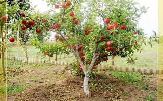 Карликовые яблони: список сортов с описанием, посадка и уход, достоинства и недостатки