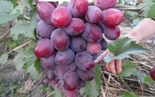 Виноград Эверест: описание и характеристики сорта, правила выращивания