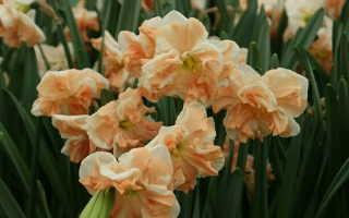 Нарцисс Эприкот Вирл: описание и характеристики сорта, посадка и уход, отзывы с фото