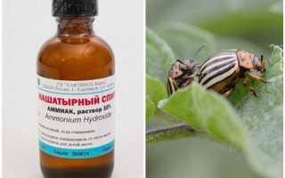 Нашатырный спирт от колорадского жука на картошке: как применять