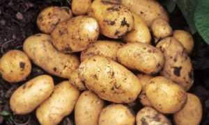 Картофель Наташа: характеристика и описание сорта, урожайность с фото