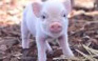 Препараты для свиней: какие витамины и гормоны давать поросятам для быстрого роста