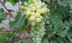 Виноград Богатяновский: описание и характеристики сорта, выращивание и уход с фото